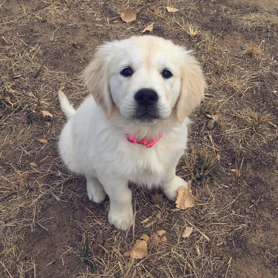 White Lab Puppy